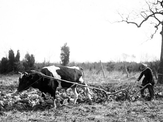 plowing with oxen2