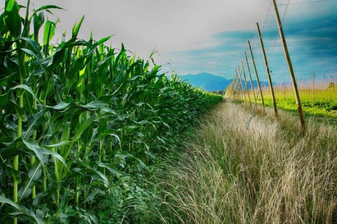 Chilliwack corn and hop farms